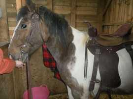 western show saddle & halter