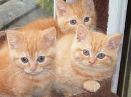Looking for Male Ginger Kitty's!