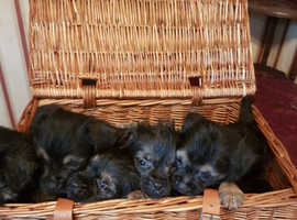 blue and tan border terrier puppies