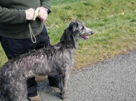 10 month old deerhound Cross greyhound