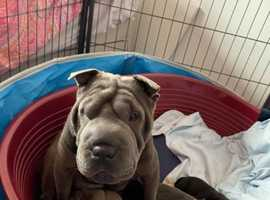 Pocket size Beautiful shar pei girl puppy for sale.