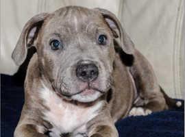 Blue Staffordshire bull terrier boy