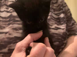 X4 Black Kittens for Sale