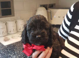 HANDSOME F1 COCKAPOO PUPPY READY NOW