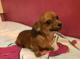 Dachshund x Chihuahua puppies