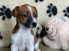 Jack Russell Terriers For Sale 8 weeks Vet Checked