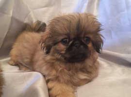 Two Pekingese puppies male and female for sale