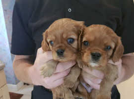 King Charles cavalier puppies Ruby 2 boys