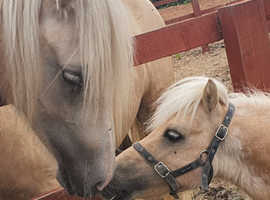 Therapy/Grooming/Leading palomino shetland for part loan