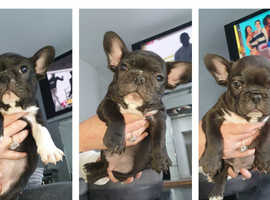 Stunning French Bulldog Puppies