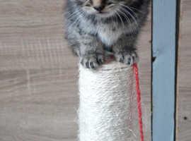 Beautiful British Shorthair Male Kitten