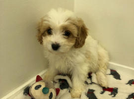 Adorable Cavachon puppies girls and boys for sale