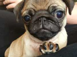ADD UPDATE JUST ONE MALE PUG PUPPY LEFT. (RILEY).