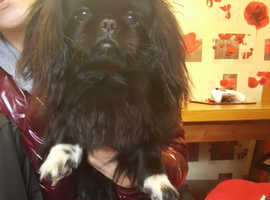 Pekingese Dogs & Puppies For Sale & Rehome in Manchester