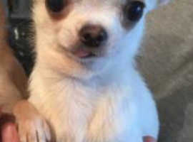 Tinny T-cup chihuahua for sale