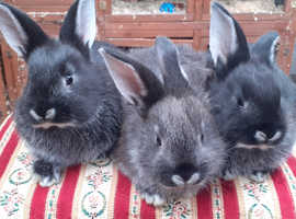 Fully vaccinated purebred baby Sable rabbit ready soon!