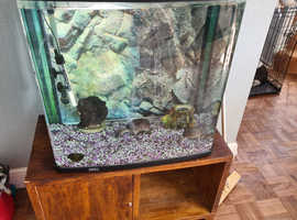 2 musk turtles and 130 litre set up