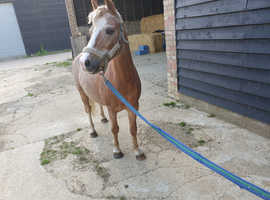 257bf88e3e5 Horses & Ponies For Sale | Buy & Sell Equestrians in Epping ...
