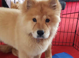 Red chow puppy for sale