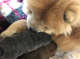 Chow chow red dog puppy