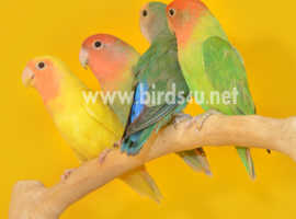 Baby Love birds for sale,15