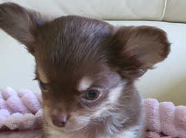 handsome long coat chihuahua