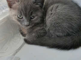 Gorgeous Russian Blue Girl Kittens