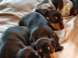 Beautiful tniy miniature dachshund puppys