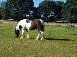 15.2 coloured cob for sale