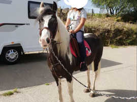 12.2 - 12.3hh Coloured cob ride and drive
