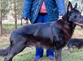 Tyrion - Black German Shepard Dog - For STUD ONLY