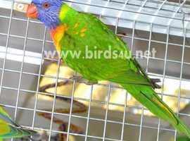 Rainbow Lorikeet for sale,20
