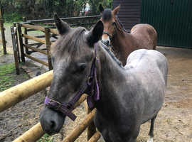 Full registered new forest yearling gelding