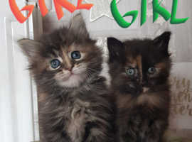 Beautiful Maine coon kittens
