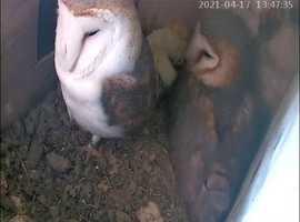 Breeding pair of adult barn owls