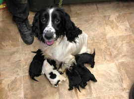 Cocker spaniel puppies looking for a loving home