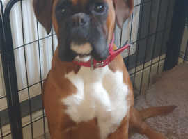 Kc registered red with black mask boxer puppies only 1 boy left