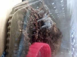 Curly haired tarantula