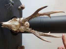 Roe Deer skull with full antlers