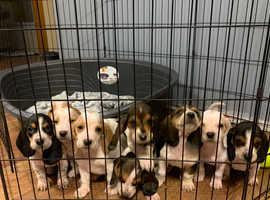 Beautiful Basset Hound Puppies!