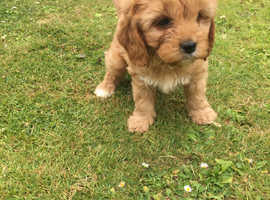 Gorgeous Cavapoo Puppies