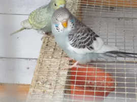 Budgies For Sale & Rehome in Bedford | Find Birds For Sale