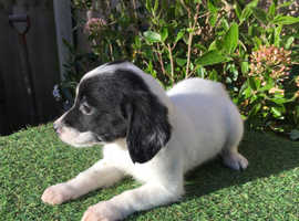 Friendly, soft and cuddly Male Cockapoo puppy