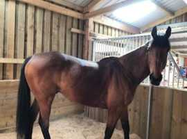 17H Ex race Horse full of Potential