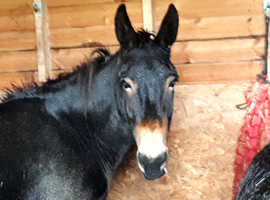 Horse x donkey