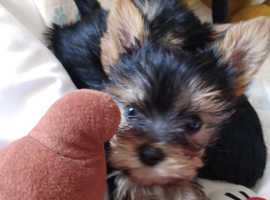 Top quality Toy Yorkshire terrier  pups