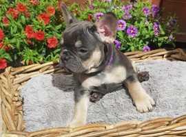 Charming French Bulldog puppy
