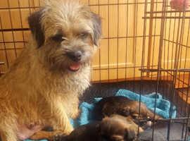 Excellent pedigree male Border terrier pups