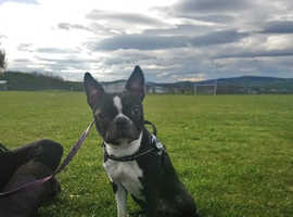 Kc Boston Terrier