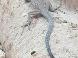 Oman Desert Lacerta lizards